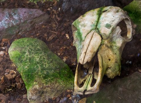 Weathered cow skull laying on the ground, creepy halloween decorations