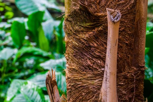 macro closeup of a palm tree trunk, tropical nature background, popular garden plants and trees