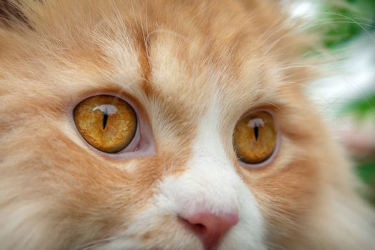 Fully Dilated Eye Pupil on an Orange Persian Cat