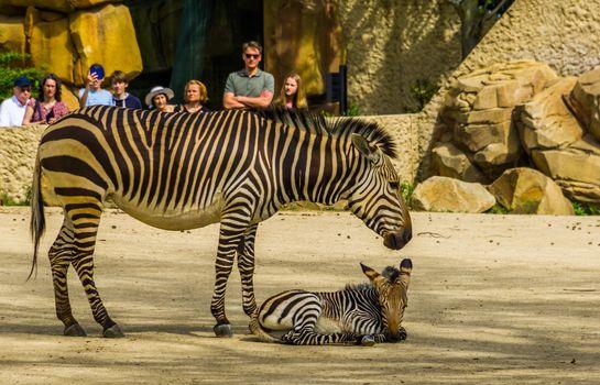 visitors of the antwerp animal zoo watching a hartmann's mountain zebra with foal, Antwerpen, Belgium, april 23, 2019