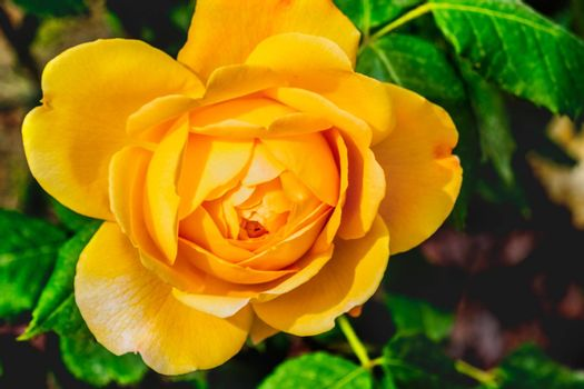 golden celebration rose yellow flower and background .