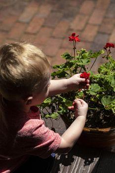 Male toddler picks flowers from flower pot.