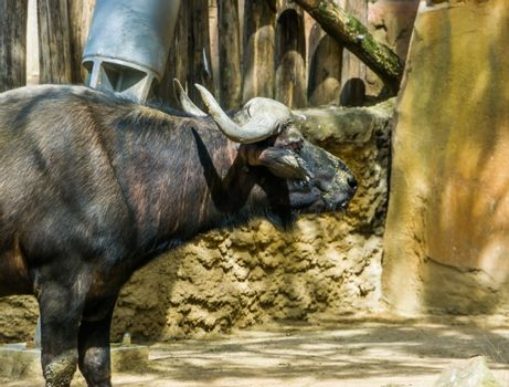 the face and neck of a cape buffalo, tropical bovine from Africa, domesticated farm animal