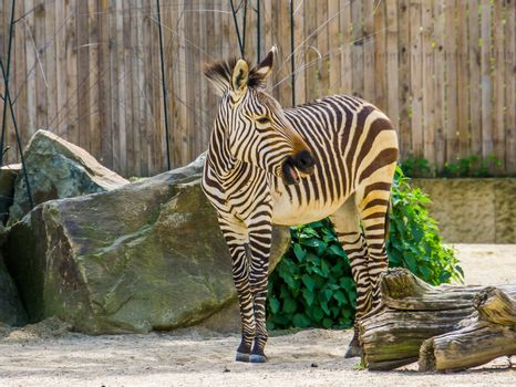 hartmann's mountain zebra in closeup, Vulnerable animal specie from Namibia and Angola in Africa