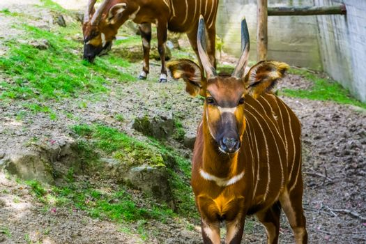 Eastern mountain bongo with its face in closeup, Critically endangered animal specie from Kenya in Africa, spiral horned antelope