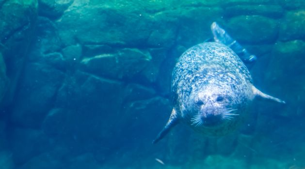 common seal swimming underwater, beautiful portrait of a harbor seal, common marine mammal from the pacific and atlantic coast