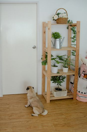 Puppy dog sitting at the door of the white room. There are small pots on the shelves.Pet sitting in the house in the morning.