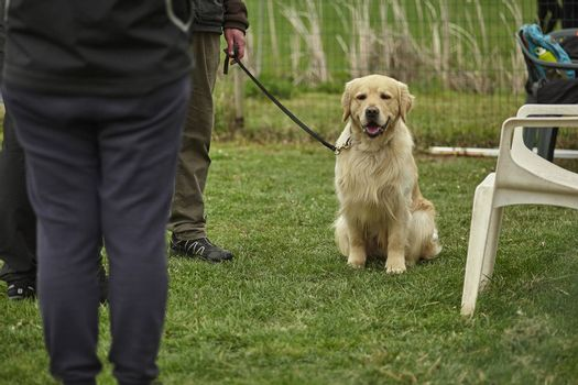 Dog Race: a dog kept on a leash before the competition