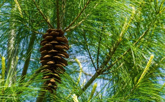 closeup of a pine cone hanging in a conifer tree, coniferous forest background