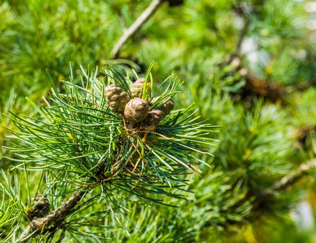 small pine cones growing on a conifer tree branch, evergreen forest background
