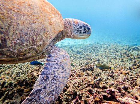 Underwater photos of Green Sea Turtle or Chelonia Mydas is a marine animals are looking for food on the coral at Ko Tao island in Thailand