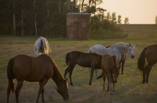 Horses Grazing Sunset