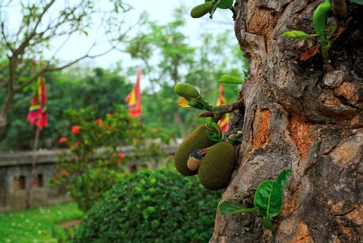 Jackfruits growing on a tree with close up of trunk and Vietnam traditional festival flag in the background with red, blue, yellow, green, red. Two sizes of fruit make the general shape astonishing.