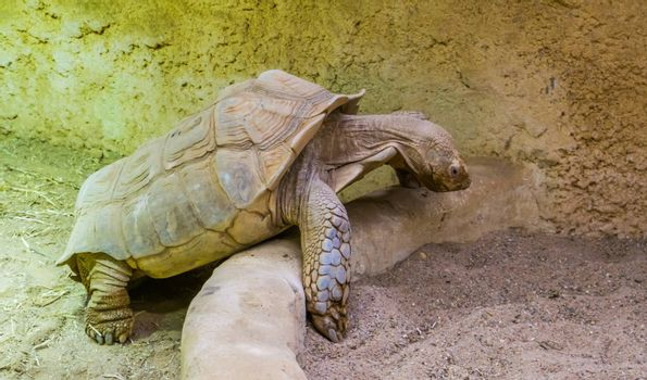 closeup of a african spurred tortoise, tropical land turtle from the desert of africa, vulnerable animal specie