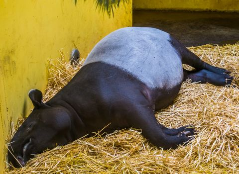 closeup of a malayan tapir sleeping in a bed of hay, Endangered animal specie from Asia