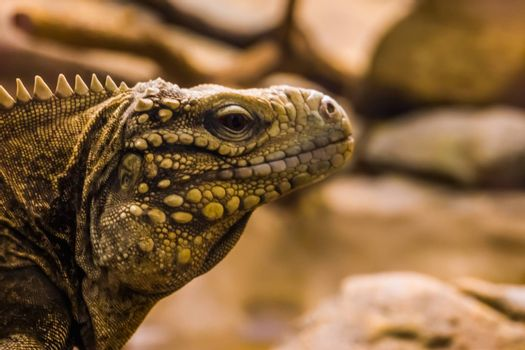 closeup portrait of the face of a cuban rock iguana, tropical and vulnerable lizard specie from the coast of Cuba