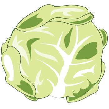 Vector illustration of the vegetable cabbage on white background
