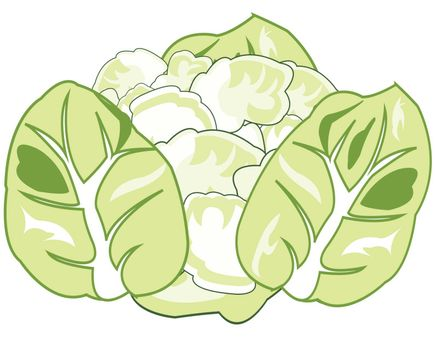 Vector illustration of the head of cabbage of the vegetable cauliflower