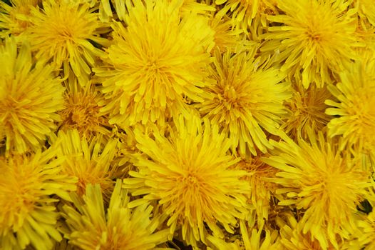 Much yellow flowers of the dandelion bright and colorful background