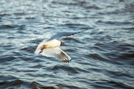 Waterfowl seagull flies and water sets