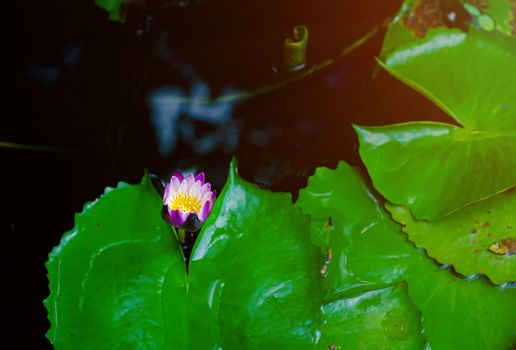 Beautiful purple lotus In the pool after the house in the morning.