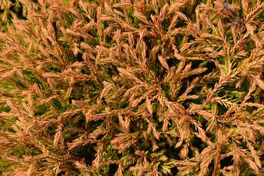Golden Tuffet Arborvitae