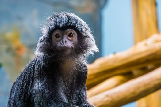 javan langur monkey with its face in closeup, beautiful portrait of a tropical primate, Vulnerable animal specie from the java island of Indonesia