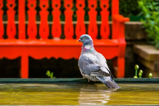 closeup portrait of a common wood dove sitting at the water side in the park, Bird specie from Eurasia