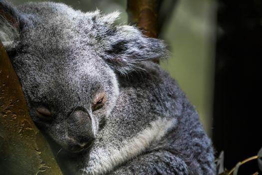 queensland koala bear sleeping in a tree, closeup portrait of a koala, vulnerable marsupial specie from Australia