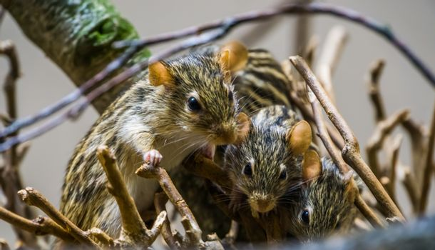 nest of barbary striped grass mouse in closeup, popular rodents from Africa