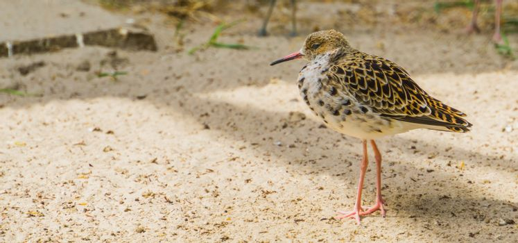 Closeup of a common red shank walking in the sand, Sandpiper from Eurasia, coastal wading bird