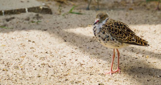 common red shank standing in the sand in closeup, sandpiper from Eurasia, Coastal wading bird