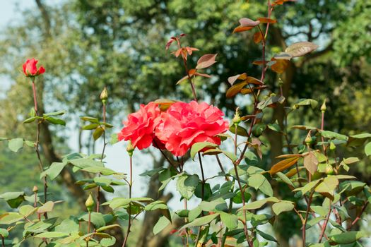 A Red rose - Genus Rosa family Rosaceae. An shrubs with stems sharp prickles. It is a sun loving plant Blooms in spring summer. Its symbol of friendship perfect for attracting butterflies honey bees.