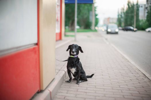 Sad black dog standing on a road and waiting for the owner