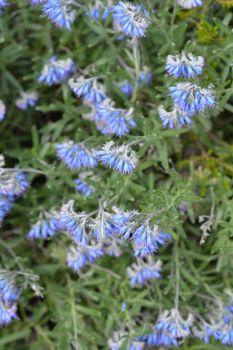 Balkan endemic blue flower