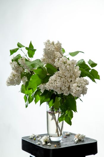 Lilac in vase on the white background