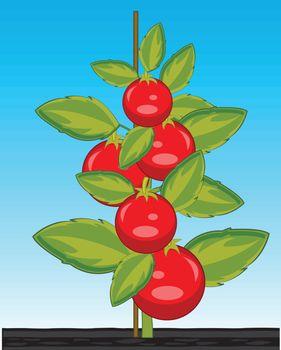 Vector illustration ripe red tomato on bush in ground