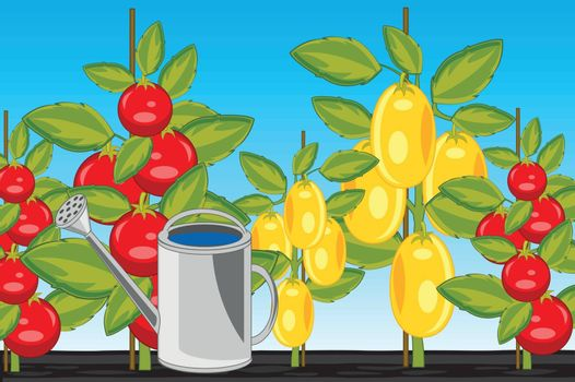 Vector illustration of the harvest two sorts tomato on area