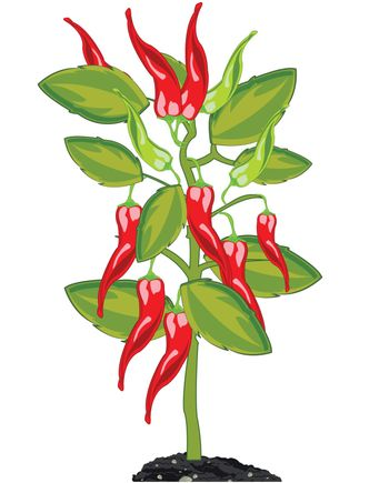 Vector illustration of the bush with pepper chile on white background is insulated