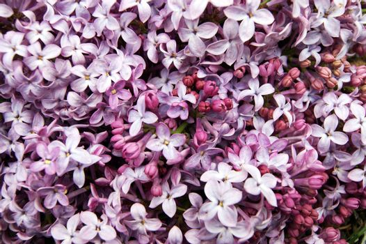 Bright and colorful background from spring flower lilac