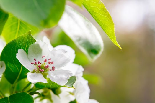 Pear blossom in spring garden close up