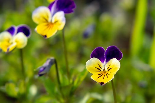 Blooming yellow violet violets perennial in the spring garden