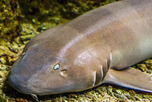 the face of a brown banded bamboo shark in closeup, tropical fish from the indo-pacific ocean