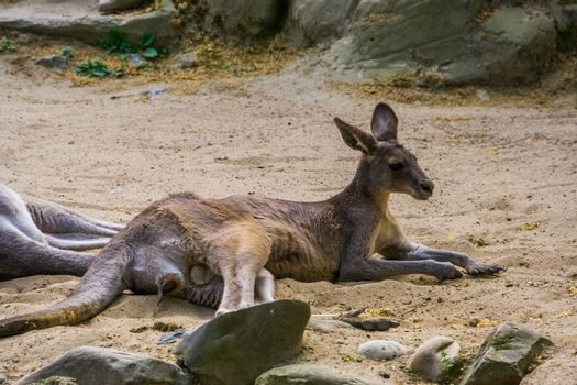 Portrait of a male eastern kangaroo laying in the sand, visible genitalia, Marsupial from Australia