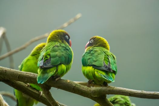 couple of black cheeked lovebirds sitting together on a branch, tropical birds from Zambia, Africa