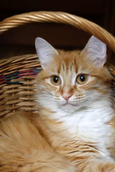 Red cat sitting in a wicker basket