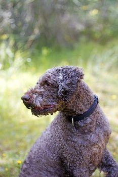 Dog portrait Lagotto romagnole macro background fine art in high quality prints products 50,6 Megapixels