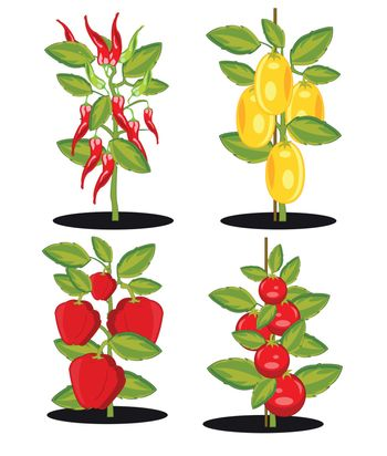 Bushes with ripe tomato and pepper on white background is insulated