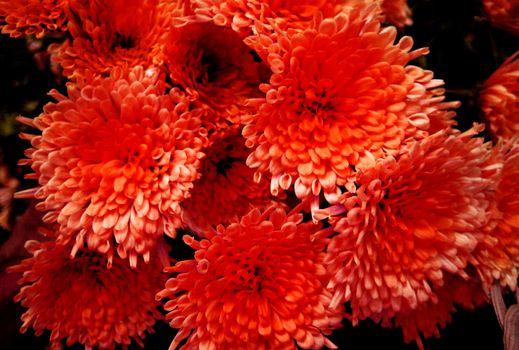 Red chrysanthemun flower macro background wallpaper fine art prints