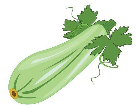 Vector illustration drawing ripe vegetable marrow on white